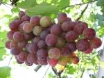 виноград.диета