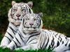 """Предпросмотр схемы вышивки  """"белые тигры """". белые тигры, животные, кошки, тигры, предпросмотр."""